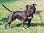 Angol Staffordshire Bull Terrier